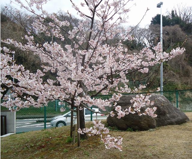 玉縄桜トリミング.jpg